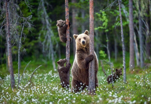 Three bears in the forest.