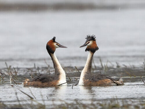 A pair of grebes.