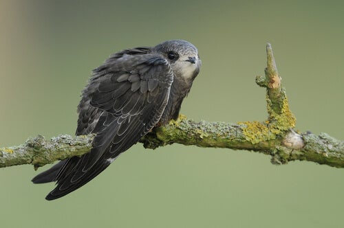 A swift perched on a branch.
