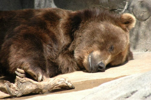 A bear hibernating.