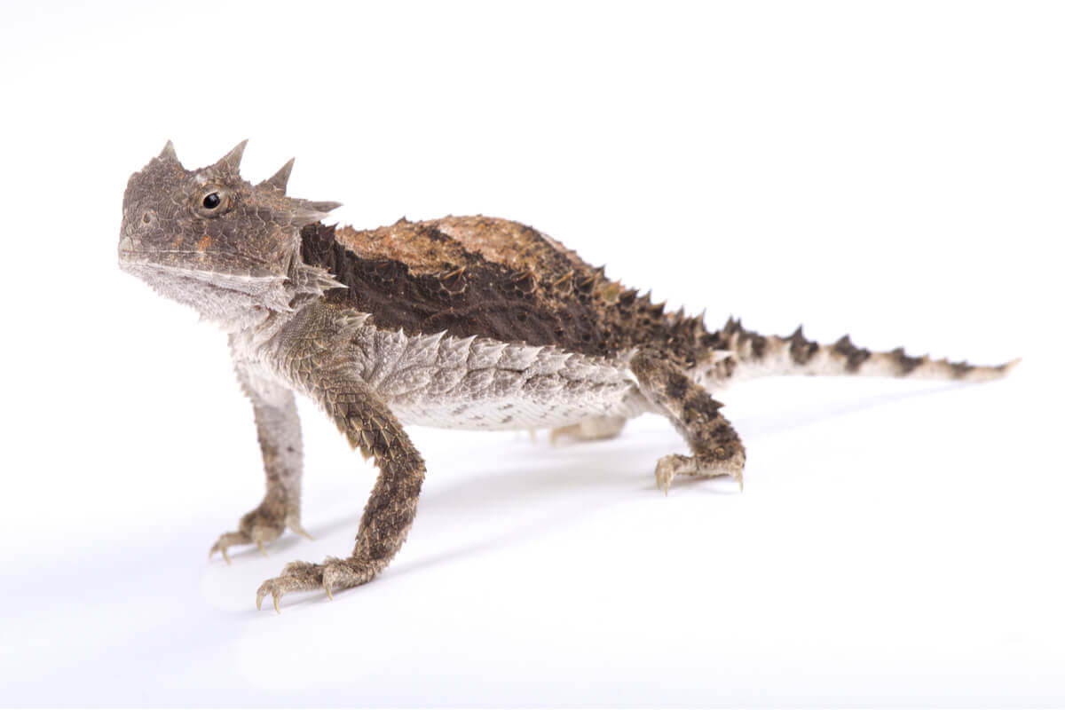 The body of the horned lizard.