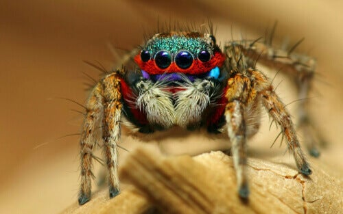 A brightly colored salticid.