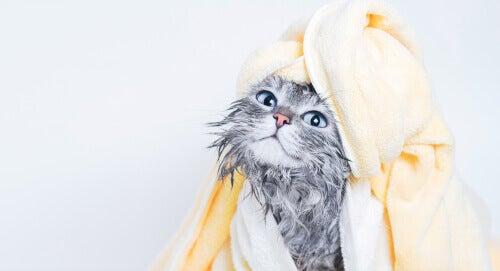 A cat after bath time.
