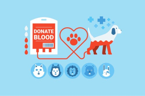 Animal blood donation requires healthy donors.