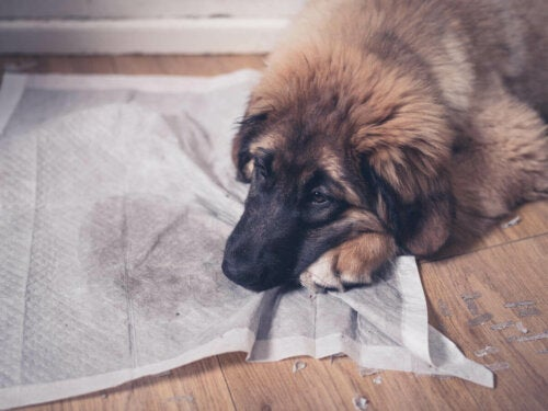 There are many reasons why dogs urinate in the house.