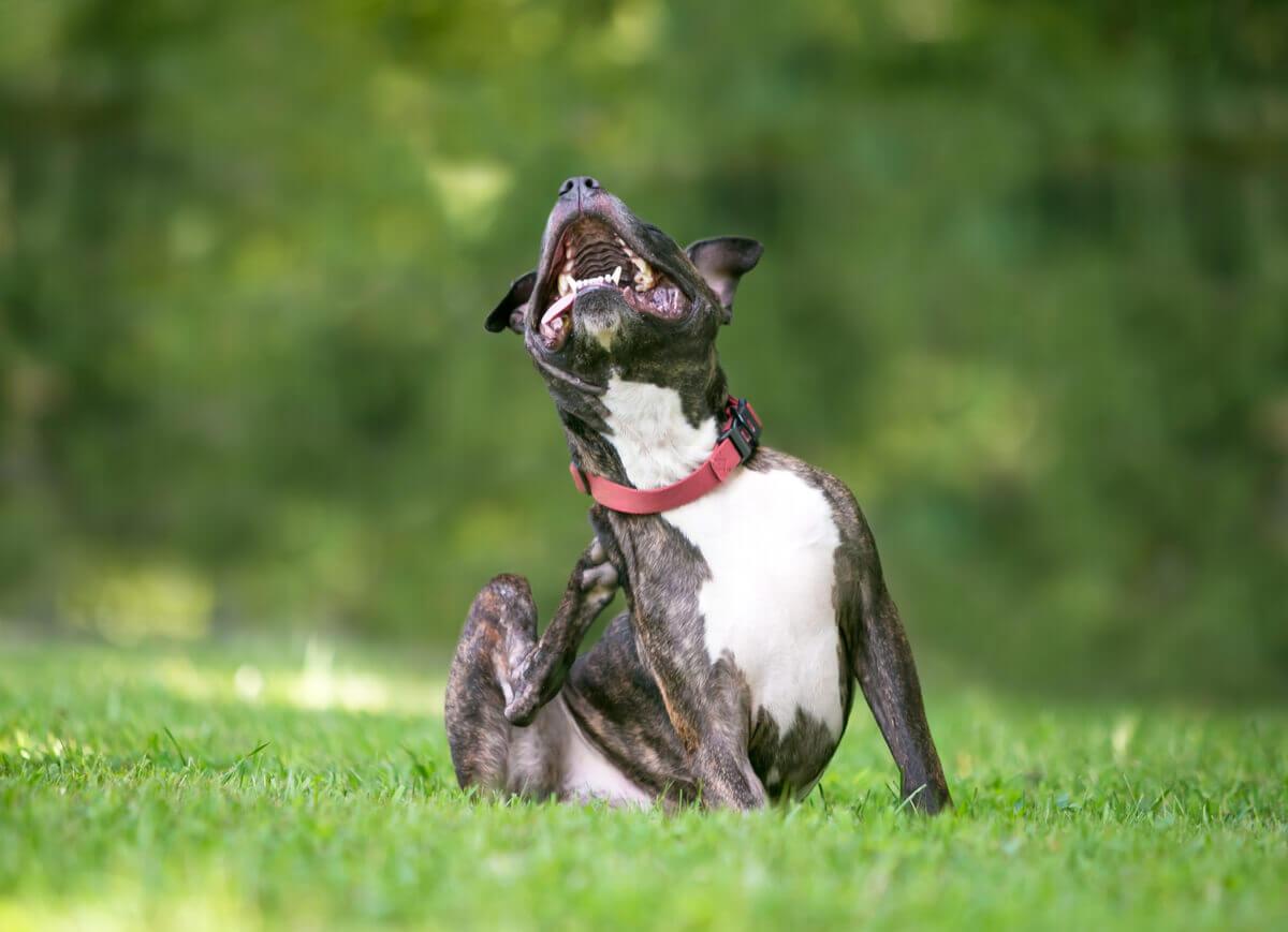 A dog with dermatitis.