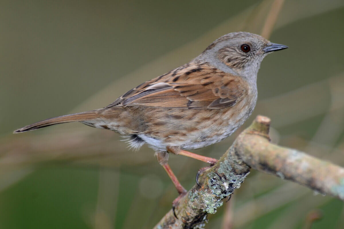 The dunnock inhabits Guadarrama National Park.