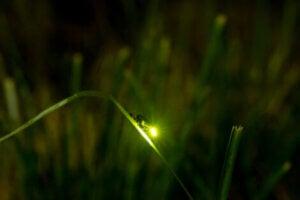 A firefly on a leaf.