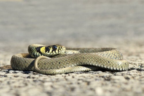The Grass Snake: Between Water and Land