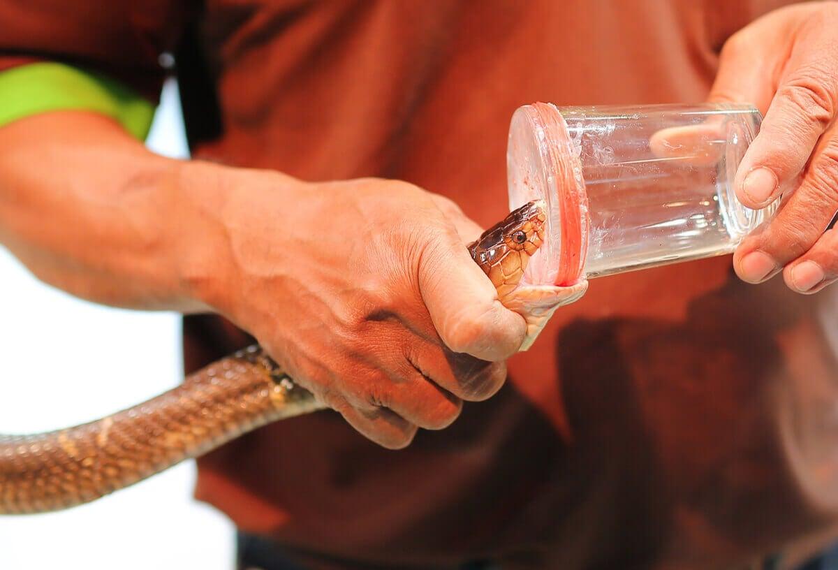 A man harvesting snake venom.