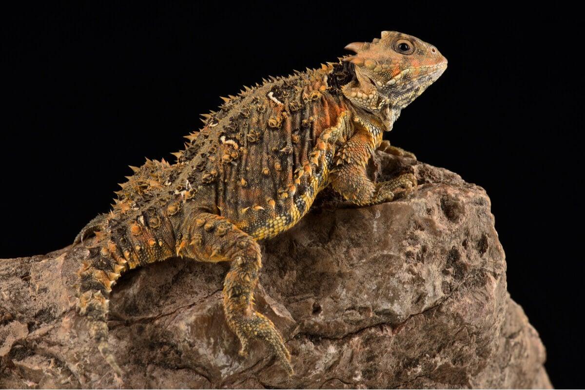 A horned lizard on a rock.