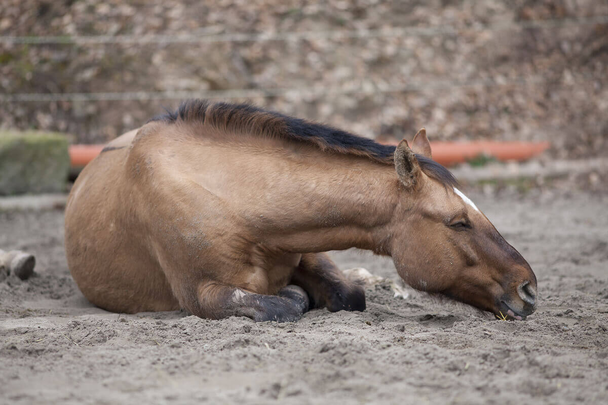 The prevention and early detection of colic in horses.
