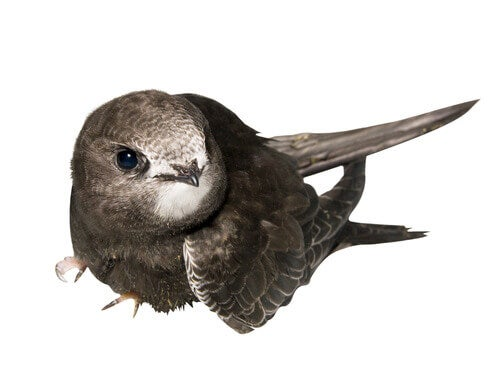 How to rescue baby swifts.