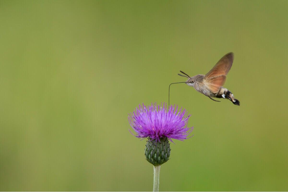 A hummingbird hawk-moth pollinating a thistle.