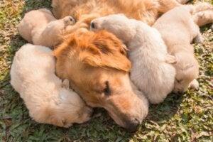 A labrador retriever and her puppies.