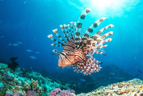 The Lionfish Invasion: The Mediterranean's New Resident