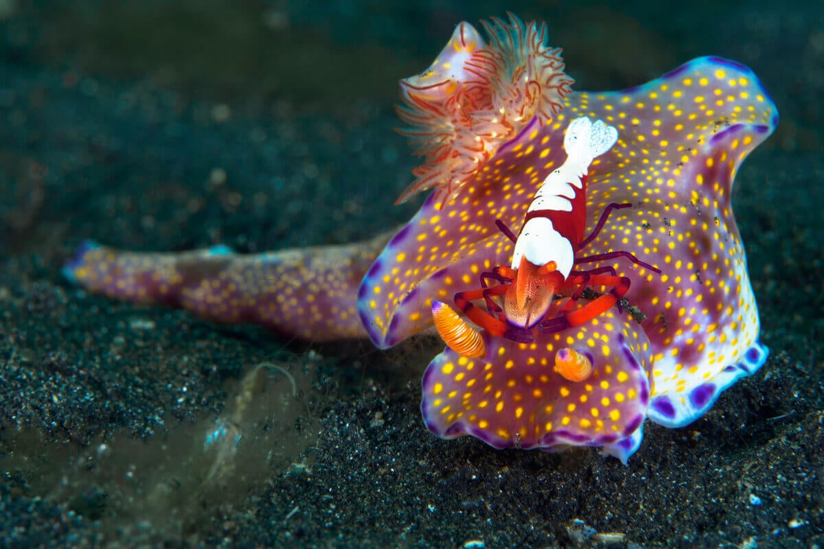 A nudibranch living in symbiosis with a shrimp.