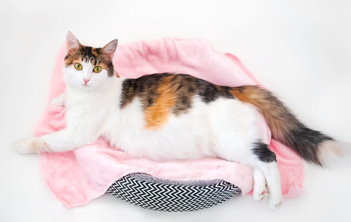 A pregnant cat lying in a cat bed.