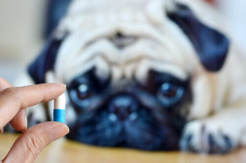 A scared pug looking at a pill.