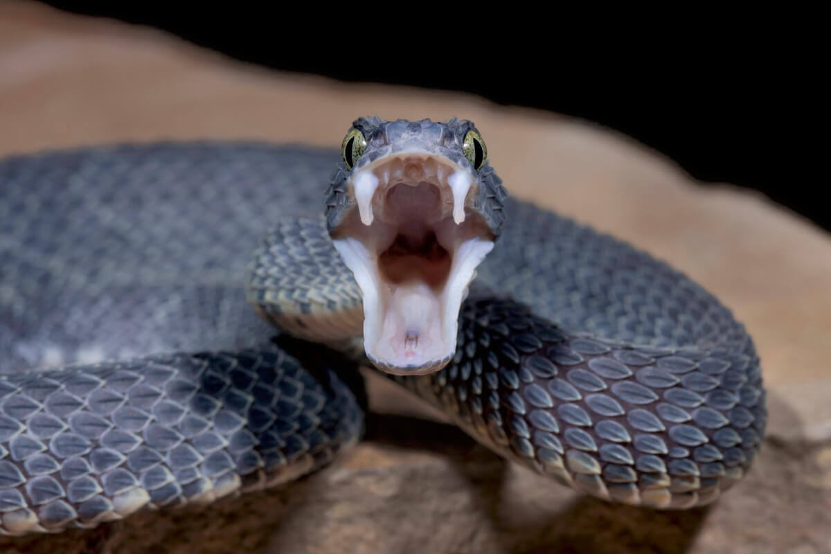 A venomous snake bearing its teeth.