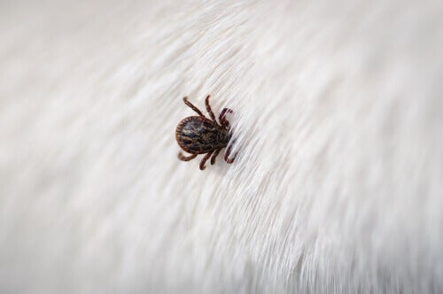 A tick on an animal.