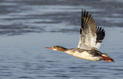 A typical merganser flying over water.