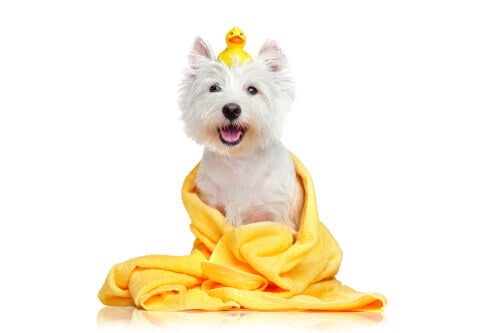 A dog smiling after a bath.