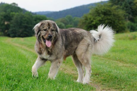 A Caucasian Shepherd in a field.