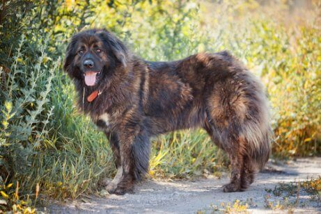 A Caucasian Shepherd standing on a path.