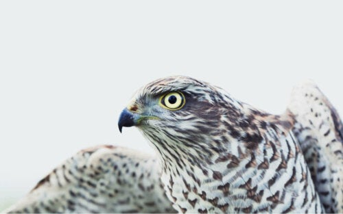 Diurnal birds of prey - A Eurasian sparrowhawk.