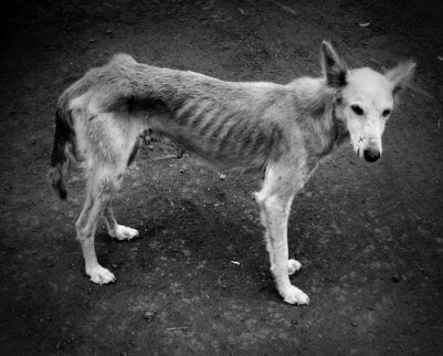 A black and white photo of a malnourished dog.