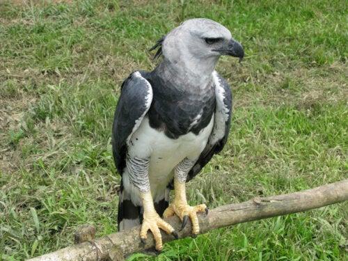 A black chested buzzard eagle.