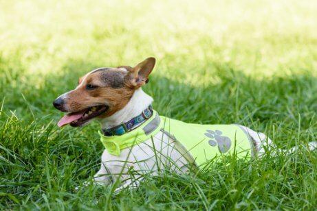 A dog wearing a luminous jacket.