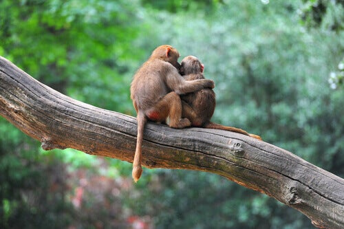 A monkey hugging and kissing another.
