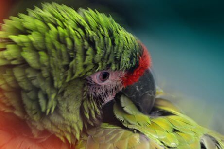 A parrot pulling out their feathers.