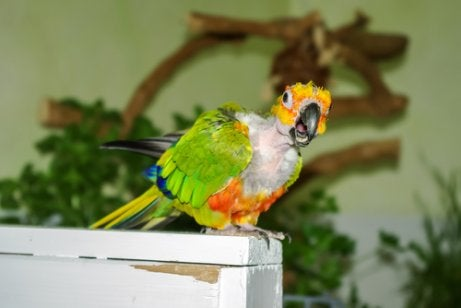 A parrot that suffers from feather-plucking.