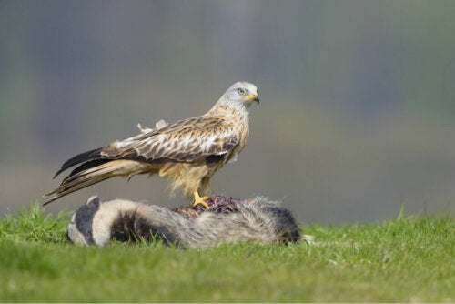 A red kite on top of its prey.