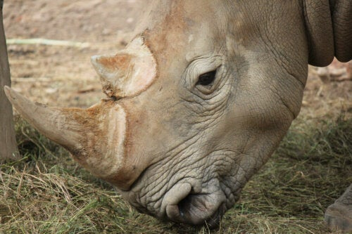 A rhino eating.