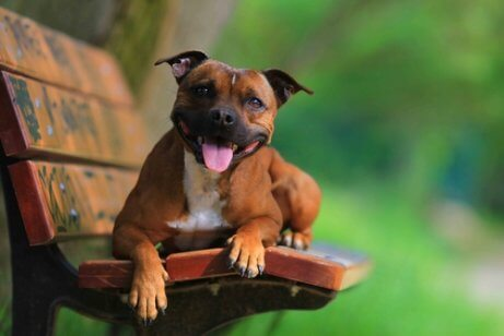 A staffordshire terrier on a bench.