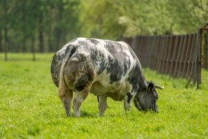 Belgian Blue bull.