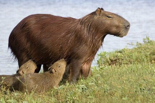 A family of capybaras.