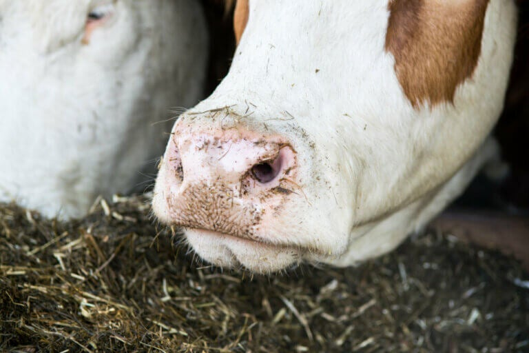 The Rumen, a Microbial Ecosystem Inside a Cow