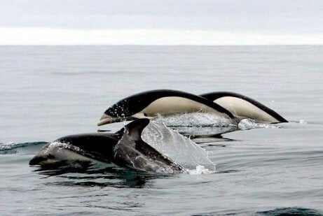 Southern Right Whale Dolphins swimming.