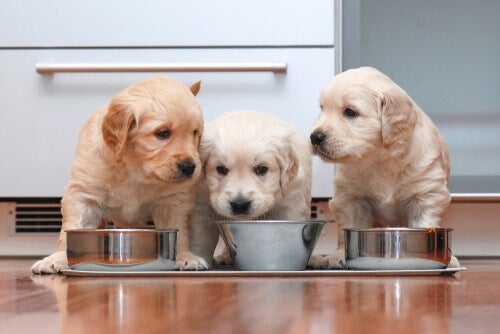 Three puppies in front of their bowls.