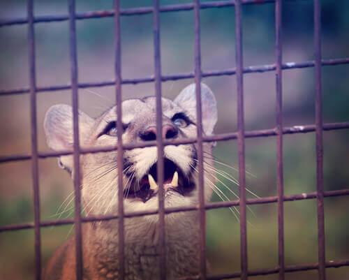 A puma in a cage.