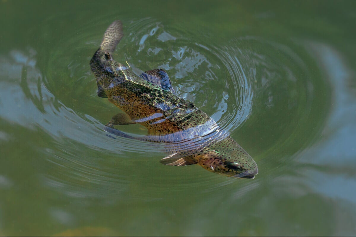 A rainbow trout swimming under water.