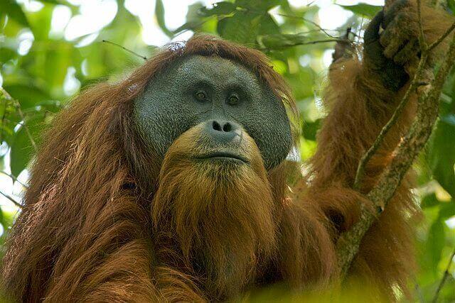 An orangutan in a tree.