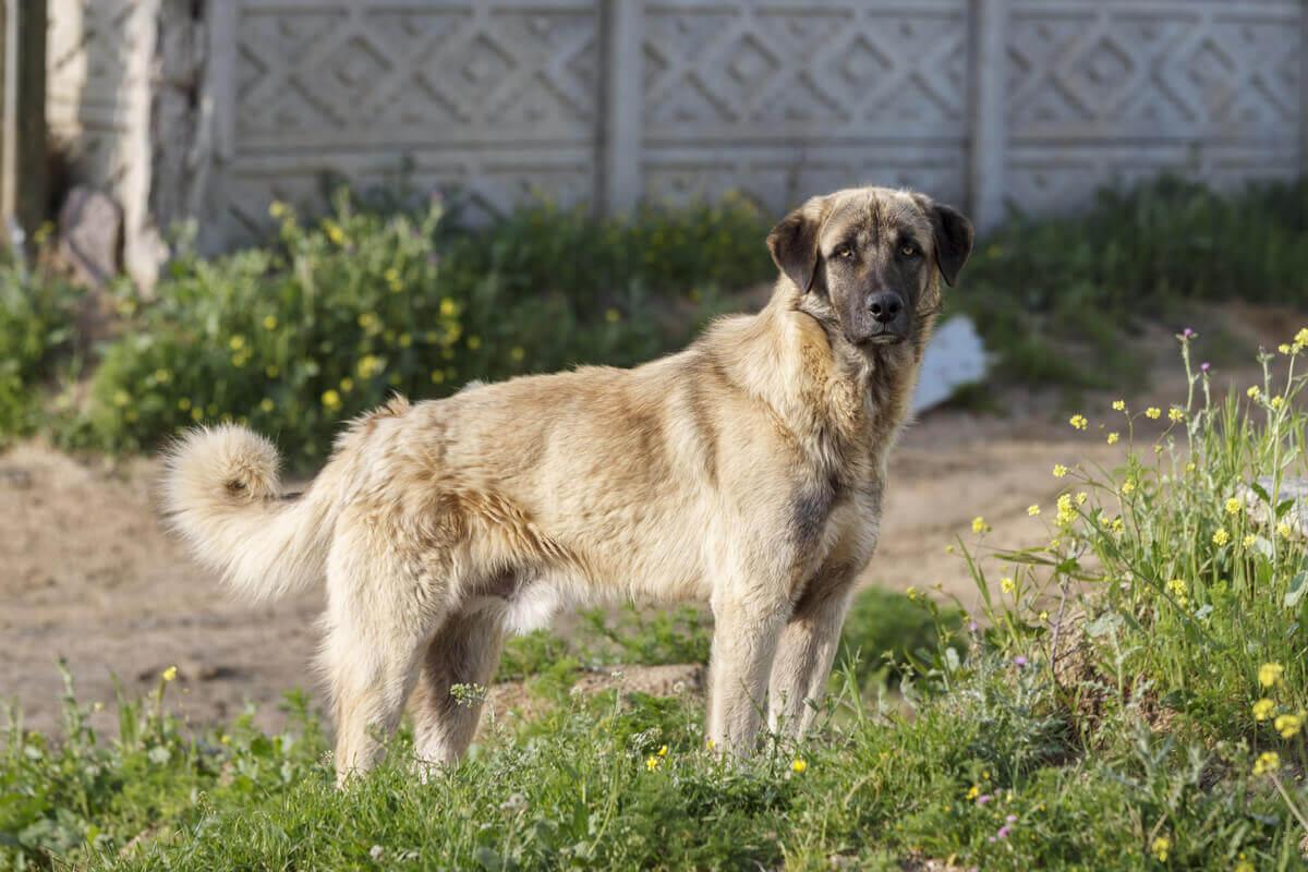 An Anatolian shepherd dog.