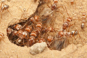 African Warrior Ants live inside their anthills.