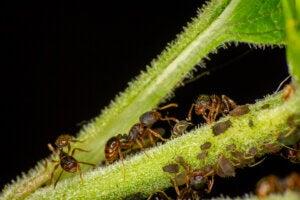 Ants of the Tetramorium genus.